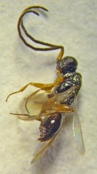 Hymenoptera - Diapriidae? - Megaspilus