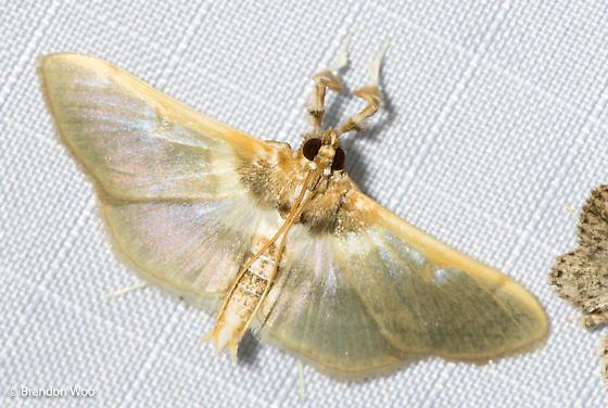 Apilocrocis brumalis