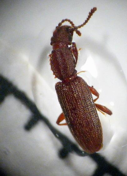 grain beetle - Oryzaephilus surinamensis