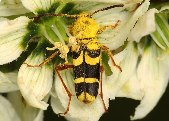pollen-covered Beetle - Clytus perhaps planifrons? - Clytus planifrons