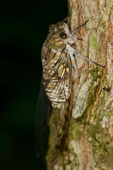 Giant Cicada - Quesada gigas