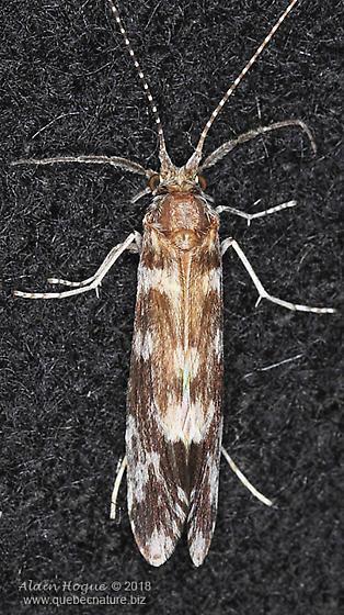 Ceraclea sp.  (near C. resurgens) - Ceraclea