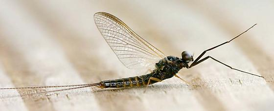Early Brown Spinner Mayfly - Leptophlebia cupida