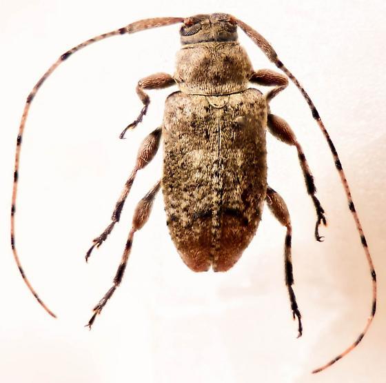 Nice Long-horn - Astylopsis sexguttata