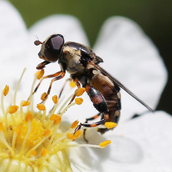 Syrphidae - Syritta pipiens