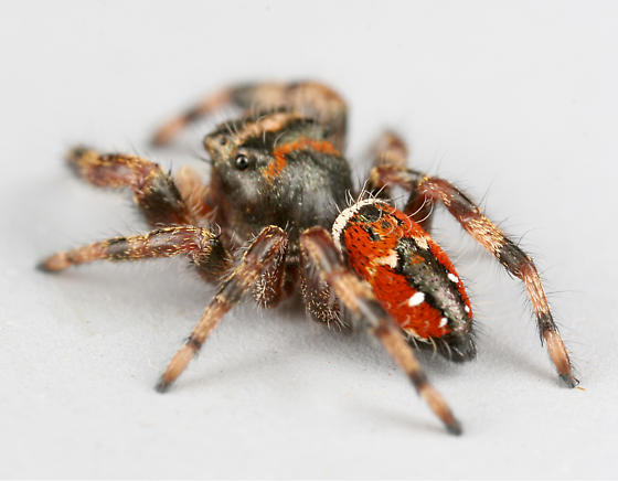 BG1259 D0195 - Phidippus clarus - male