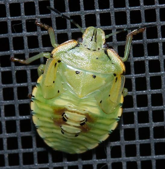 colorfully marked green stink bug - Chinavia hilaris