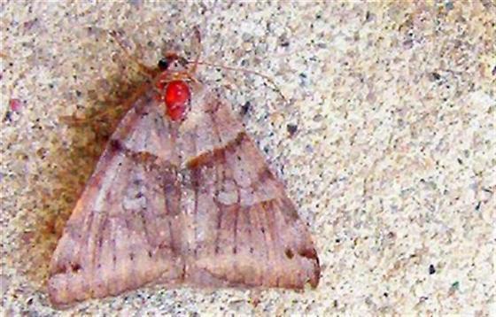 Moth Diseases - Caenurgina