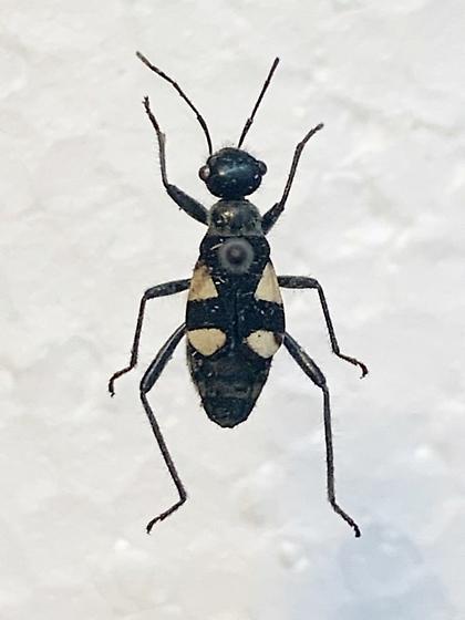 Beetle/Ant? - Arhaphe