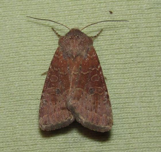 For Oregon and for August - Protorthodes rufula