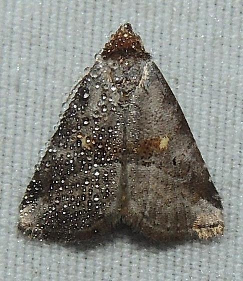 Unk Moth - Hyperstrotia flaviguttata