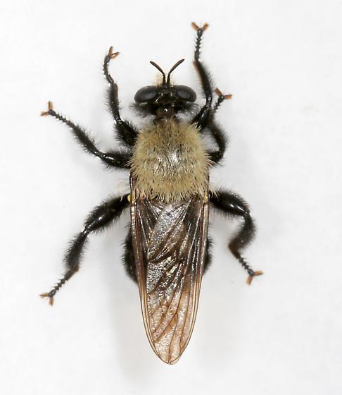 Robber Fly #2 - Laphria flavicollis - female