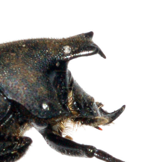 Small but fascinating - Onthophagus hecate - male