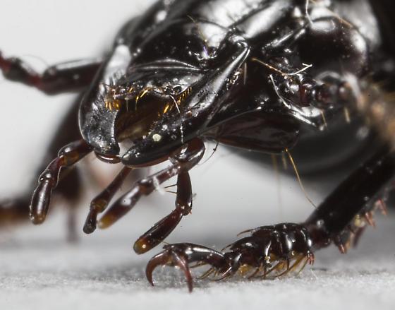 Beetle - Pterostichus melanarius