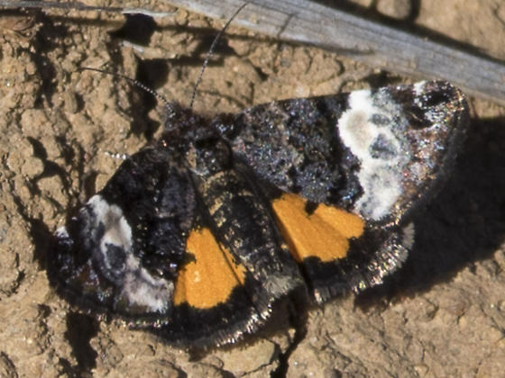 Unknown butterfly - Annaphila
