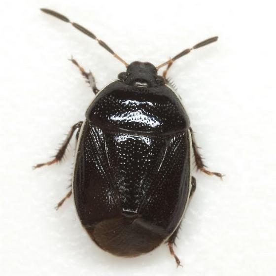 Sehirus cinctus (Palisot de Beauvois) - Sehirus cinctus