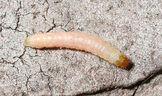 Indian Meal Moth Caterpillar - Plodia interpunctella