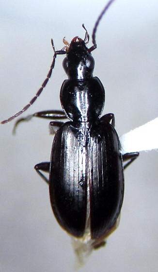 - - Agonum thoreyi - male