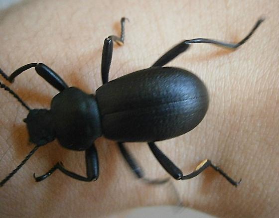 Coelocnemis sp. - Coelocnemis californica - male