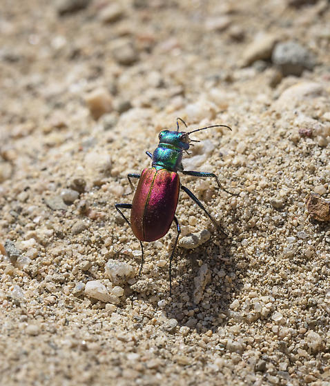 Tiger Beetle - Cicindela scutellaris