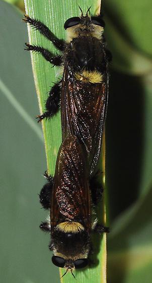 Bee Killer - Mallophora fautrix - male - female