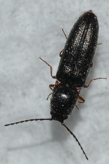 Click Beetle - Limonius basilaris