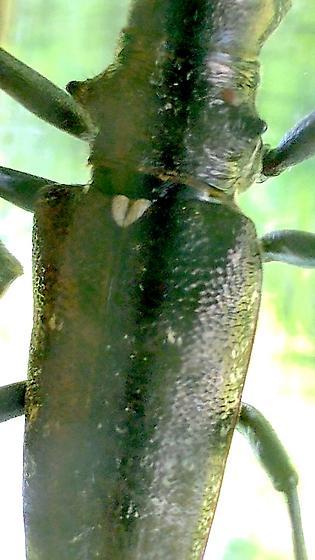 Not Asian Long-horn - Monochamus scutellatus - male