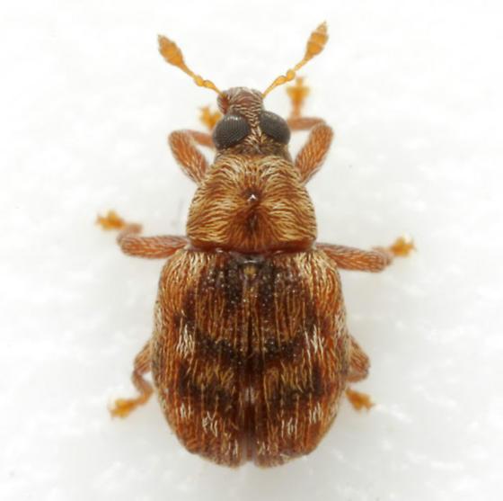 Piazorhinus pictus LeConte - Piazorhinus pictus