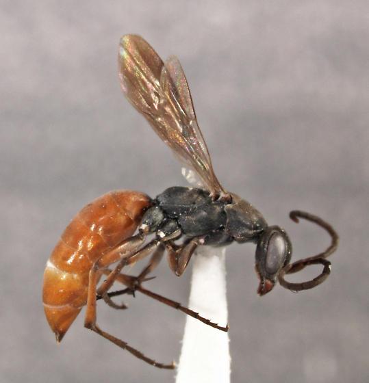Allaporus smithianus (Cameron) - Allaporus smithianus - female