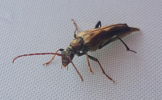Possible Soldier or Borer Beetle? - Bellamira scalaris