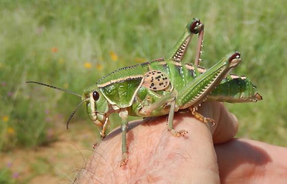 Brachystola magna   Lubber Grasshopper  - Brachystola magna - female