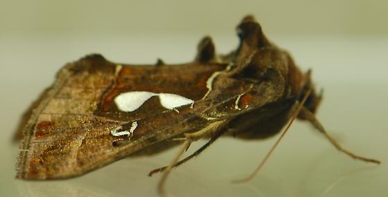 Bilobed Looper moth? megalographa biloba? - Megalographa biloba