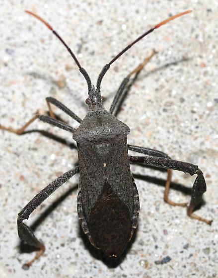 Acanthocephala terminalis? - Acanthocephala