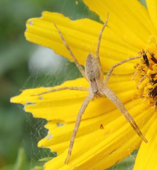 light colored spider - Nursery Web Spider? - Pisaurina mira