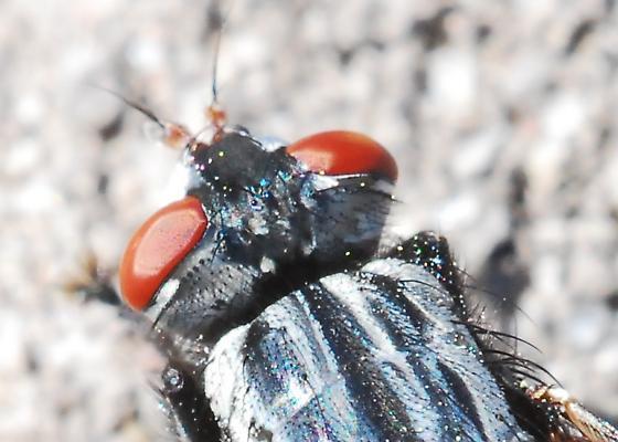 Colorful fly seeks ID - Wohlfahrtia vigil