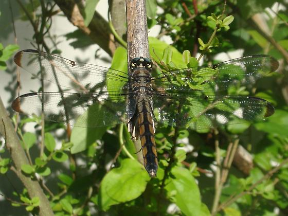 Largish Dragonfly - Libellula vibrans