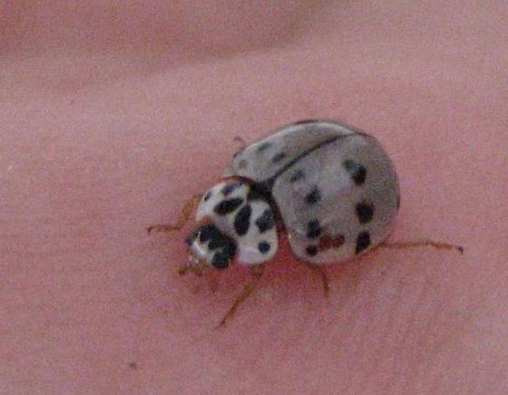 Ashy-gray ladybug - Olla v-nigrum