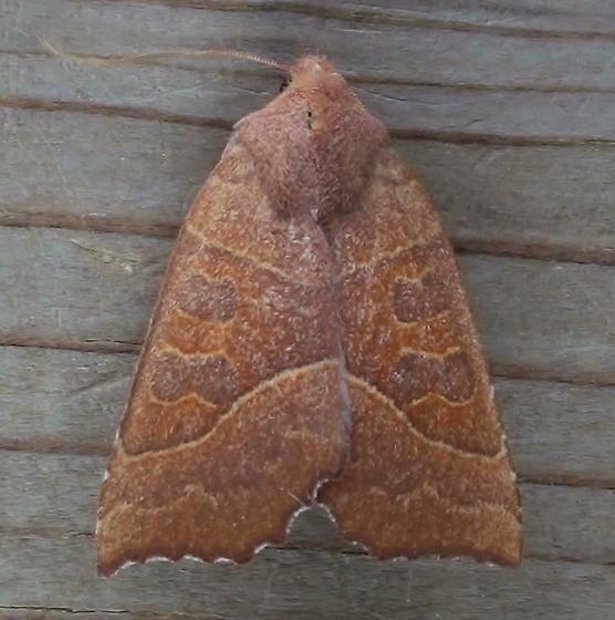 Noctuidae: Eucirroedia pampina - Eucirroedia pampina