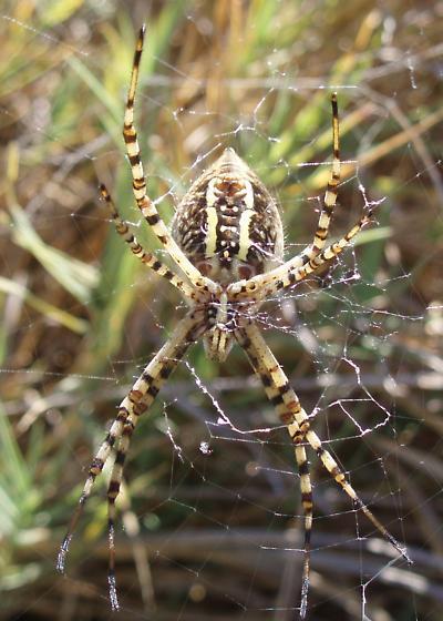 Marsh Spider - Argiope trifasciata