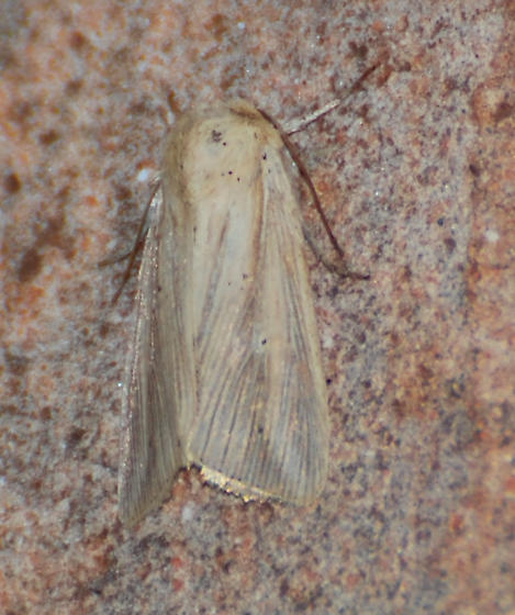 Tan Moth 1 - Less Spots - Leucania