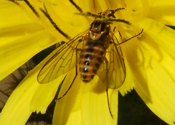 Orange County Bee Fly Archives #263 - Small one needs ID  - Neacreotrichus - female
