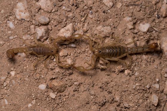 scorpions - Paravaejovis spinigerus