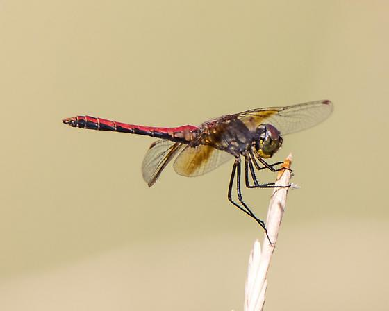 Unknown Dragonfly - Sympetrum semicinctum