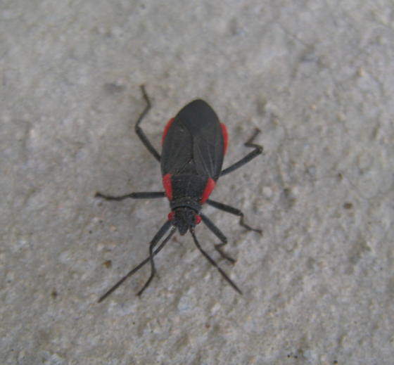 how to get rid of red shouldered bugs