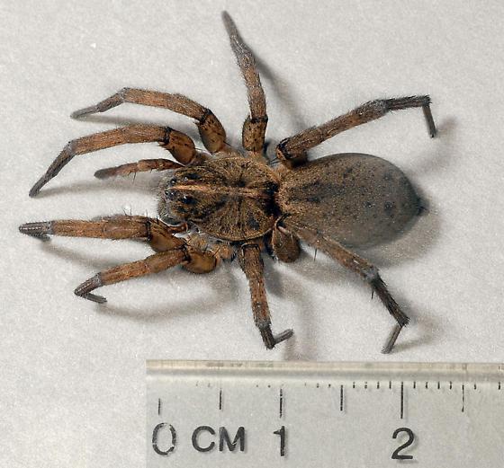 Wolf spider? - Tigrosa helluo - female