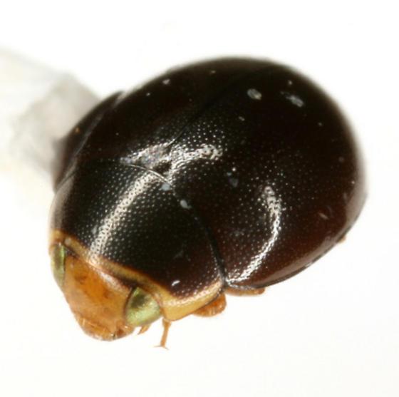 Hyperaspis pleuralis Casey - Hyperaspis pleuralis