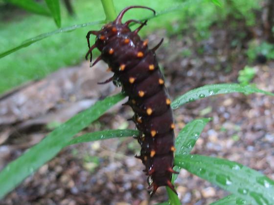 Caterpillar on goldenrod - Battus philenor