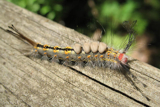 Rusty Tussock Moth? - Orgyia detrita