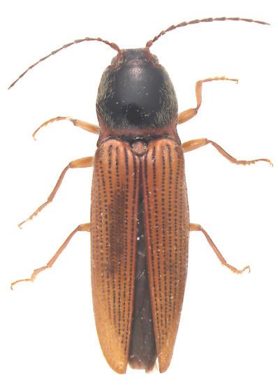 Elateridae, dorsal - Hemicrepidius hemipodus