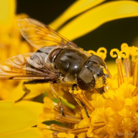 Family Syrphidae-Syrphid Flies - Eristalis dimidiata - female